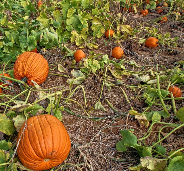 Don't Miss Linvilla Orchards Pumpkinland This Fall