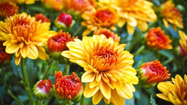 Returning Oct. 25 to Longwood Gardens: The Chrysanthemum Festival